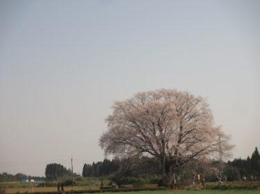 国富町の1本桜
